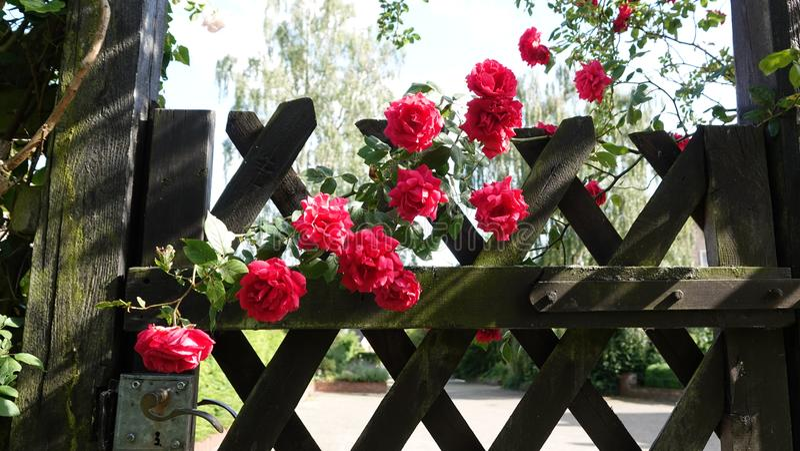 Arranjo lindo das rosas foto de stock