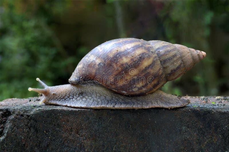 Arrastre africano del caracol de tierra fotografía de archivo