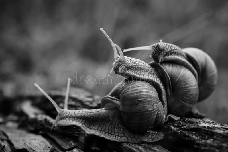 arrastre grande uno de los caracoles en uno en el bosque foto de archivo