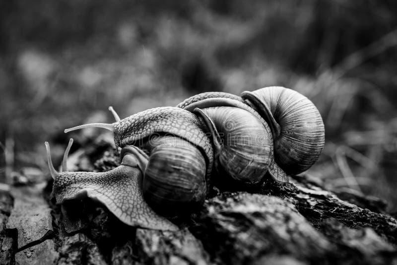 arrastre grande uno de los caracoles en uno en el bosque foto de archivo libre de regalías