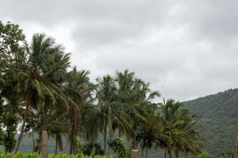 An array of coconut trees, Hasanur, Tamil Nadu, India. An array of coconut trees in Hasanur which is a town in Talamalai Reserve Forest in Tamil Nadu - Karnataka stock photos
