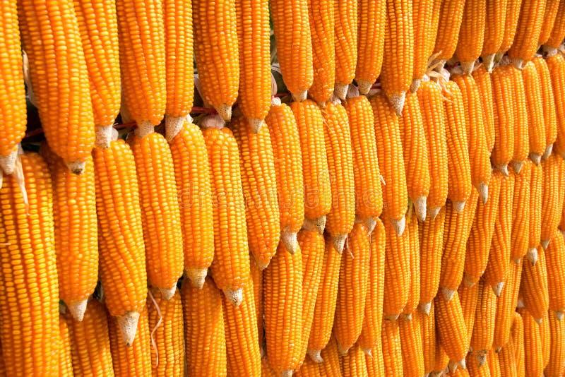 Array sort dent corn (Zea mays indentata) royalty free stock photos