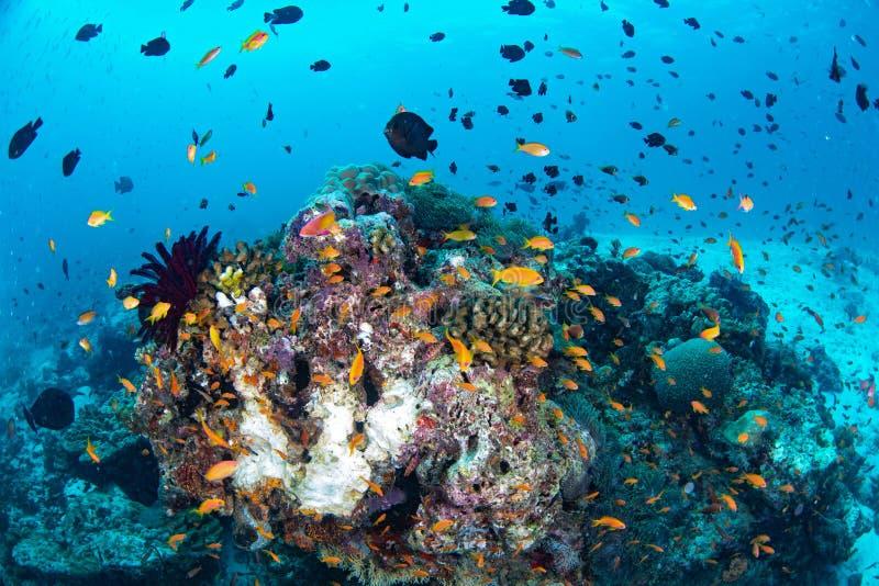 Arrecife de coral colorido hermoso y pescados tropicales subacuáticos en el mA imágenes de archivo libres de regalías