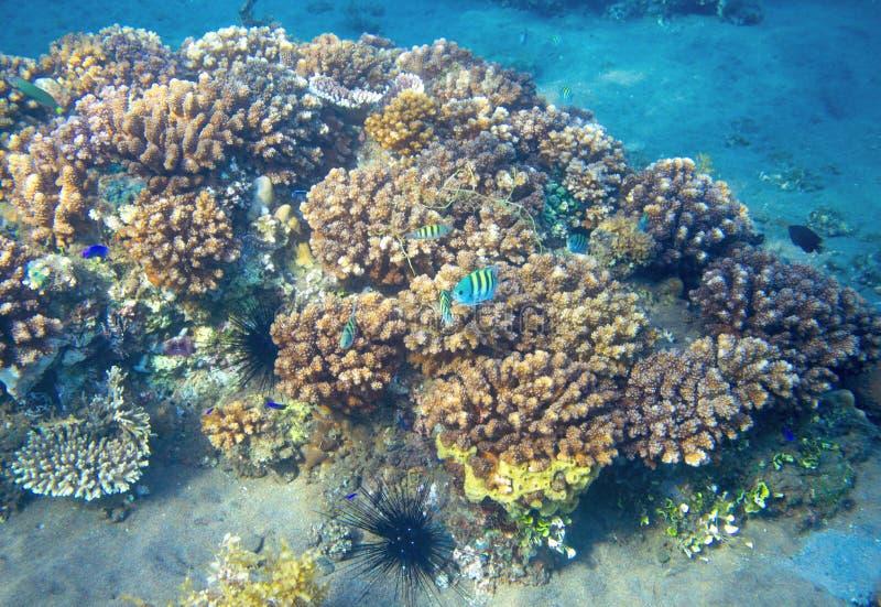 Arrecife de coral colorido y pescados azules de neón Foto submarina del paisaje imagenes de archivo