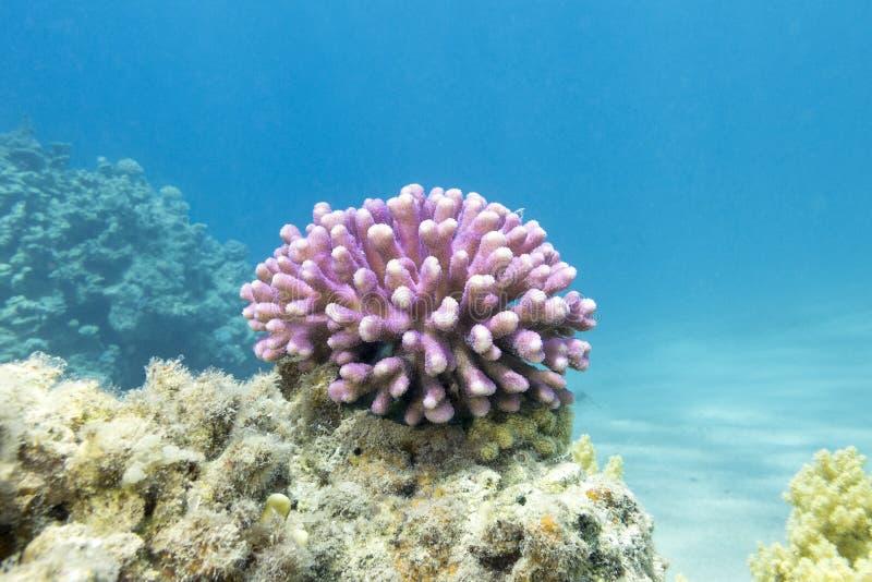 Arrecife de coral con el coral rosado del finger en el mar tropical, subacuático imagenes de archivo