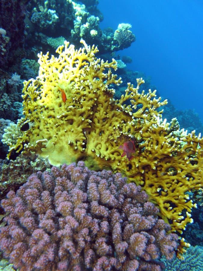 Arrecife de coral con el fuego y corales en la parte inferior del Mar Rojo fotografía de archivo libre de regalías
