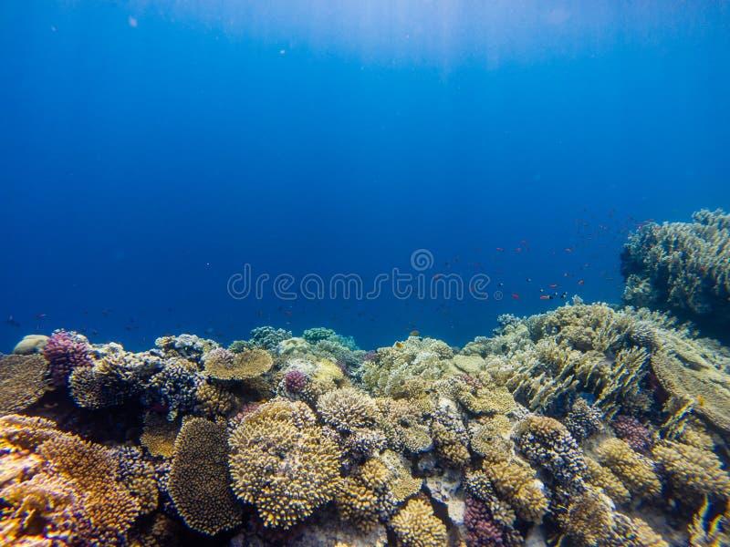 Arrecife de coral con la ramificación swimm tropical coralino y colorido de los pescados imagen de archivo libre de regalías
