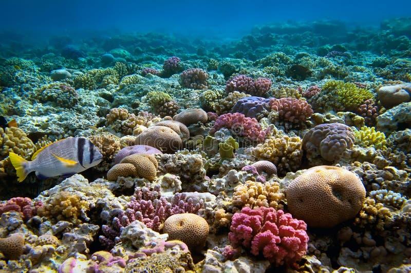 Arrecife de coral, Mar Rojo, Egipto imágenes de archivo libres de regalías