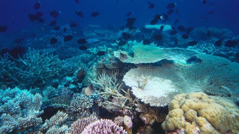 Arrecife de coral muerto matado por el calentamiento del planeta y el cambio de clima imagen de archivo libre de regalías