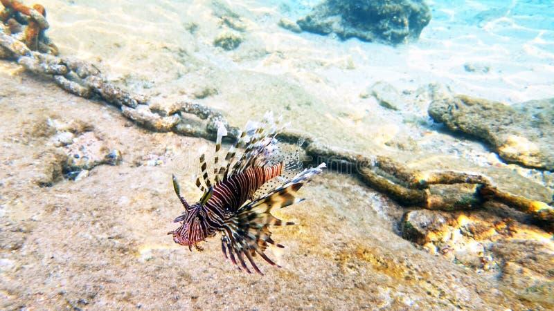 Arrecife de coral rojo del lionfish de los pescados tropicales subacuático fotos de archivo libres de regalías
