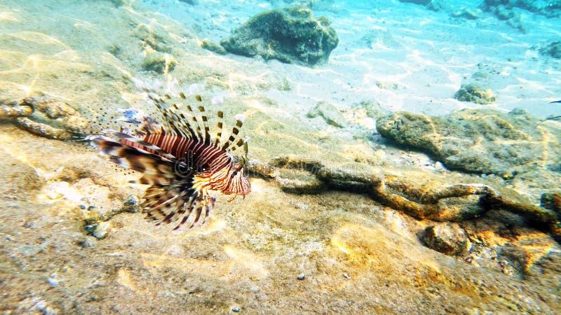 Arrecife de coral rojo del lionfish de los pescados tropicales subacuático foto de archivo libre de regalías