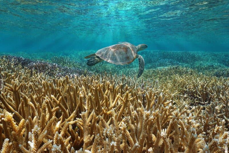 Arrecife de coral subacuático con una tortuga de mar imágenes de archivo libres de regalías