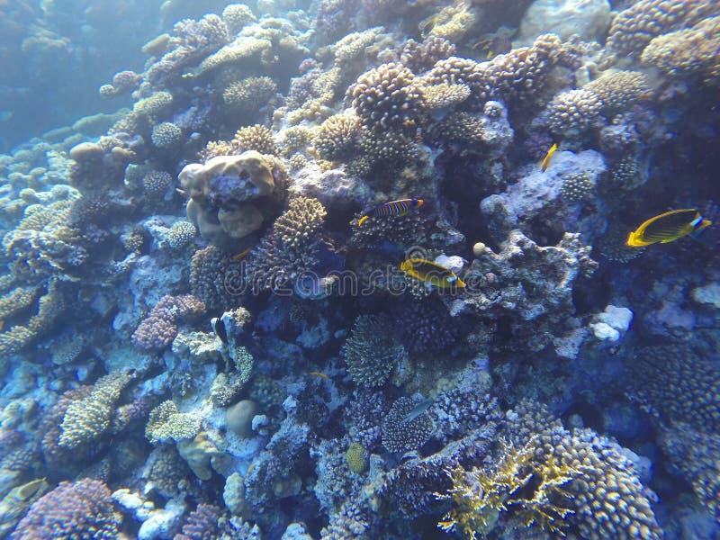 Arrecife de coral subacuático del Mar Rojo imagen de archivo