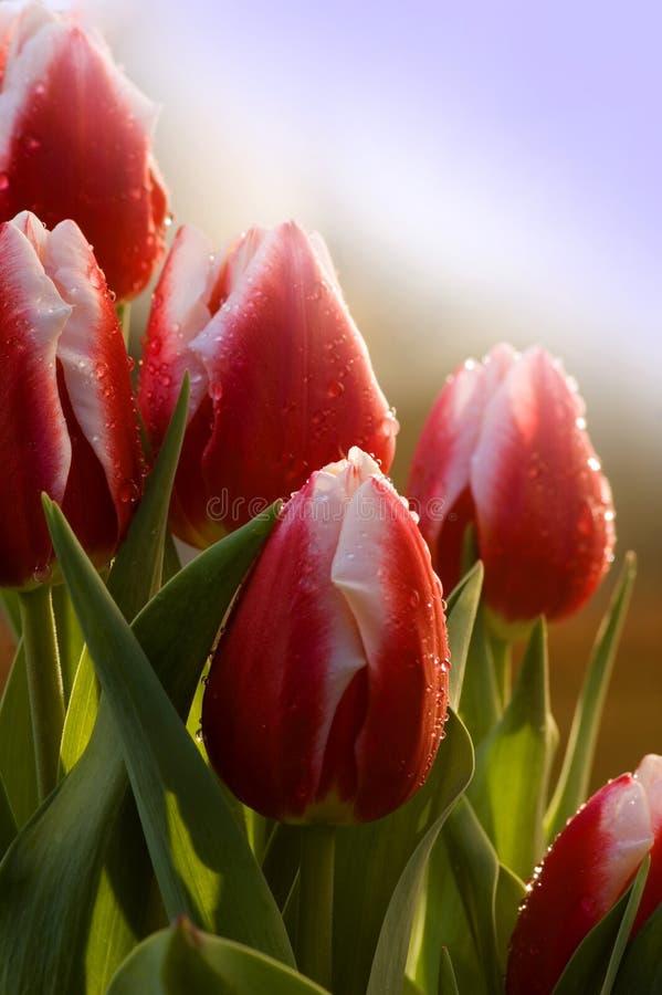 Arreglo de los tulipanes imagen de archivo libre de regalías