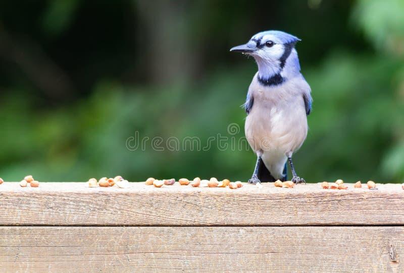 Arrendajo azul con los cacahuetes descascados fotografía de archivo