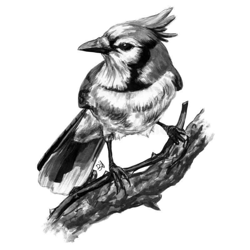 Arrendajo azul pintado aislado del pájaro que se sienta en un fondo blanco stock de ilustración