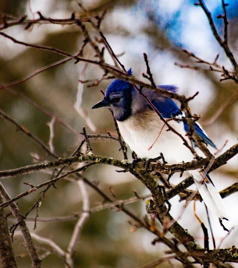 Arrendajo azul que se sienta solamente en una rama de árbol enseguida después de una tormenta imagen de archivo libre de regalías