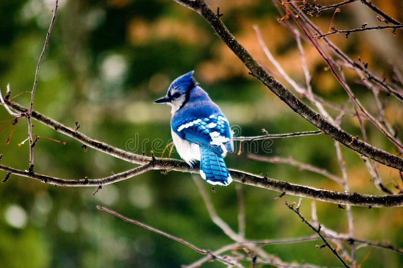 Arrendajo azul que se sienta solamente en una rama de árbol enseguida después de una tormenta foto de archivo