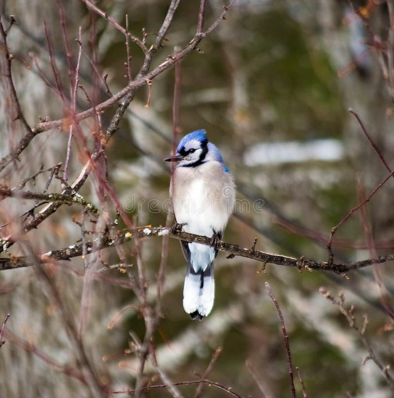 Arrendajo azul que se sienta solamente en una rama de árbol enseguida después de una tormenta imagenes de archivo