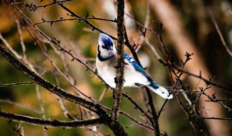 Arrendajo azul que se sienta solamente en una rama de árbol enseguida después de una tormenta foto de archivo libre de regalías