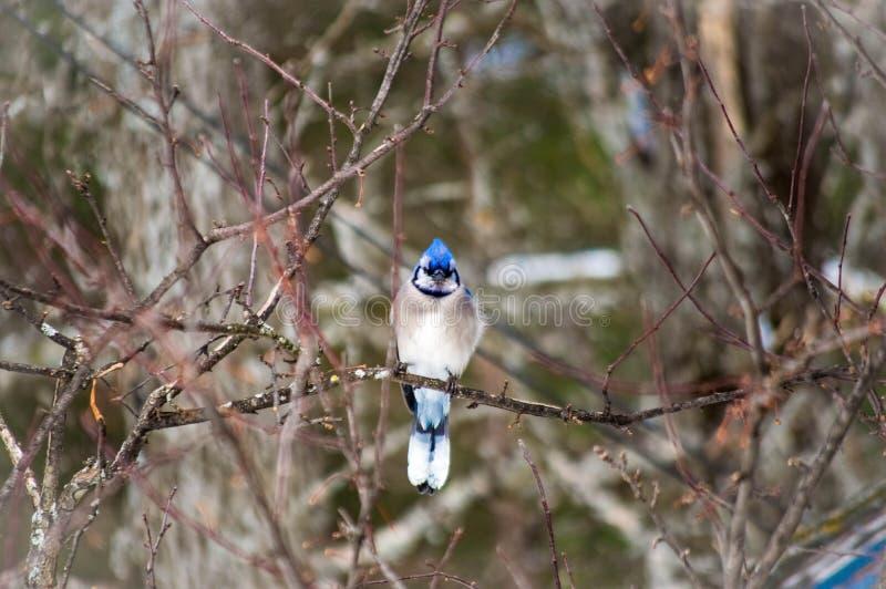 Arrendajo azul que se sienta solamente en una rama de árbol enseguida después de una tormenta imágenes de archivo libres de regalías