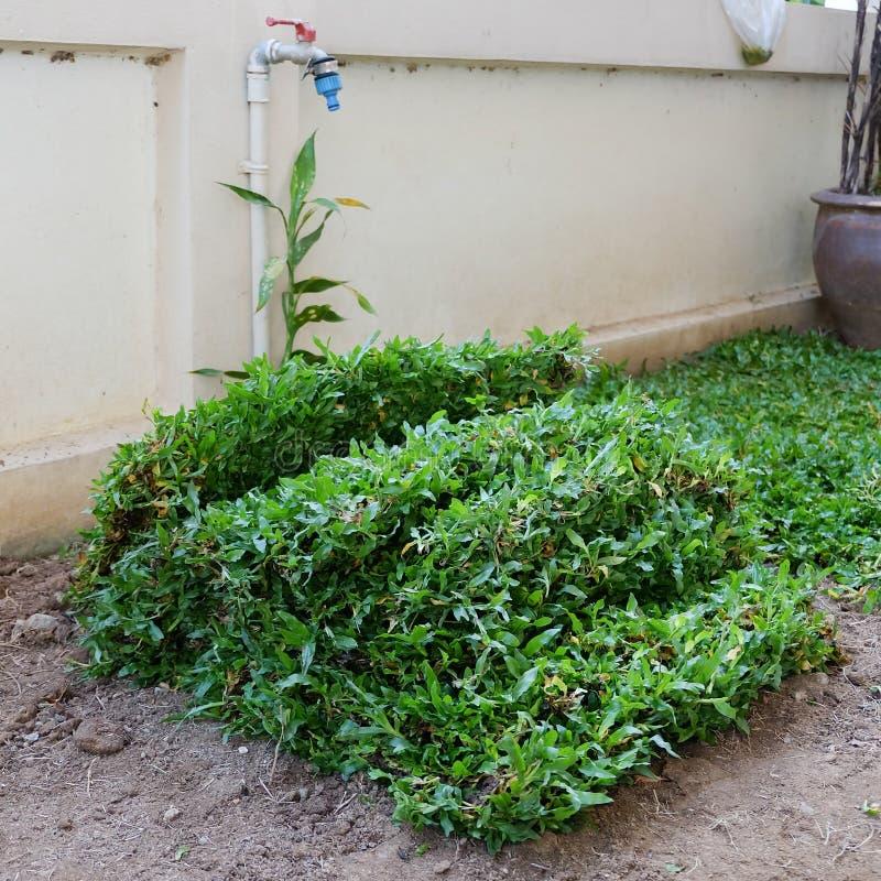 Arrière-cour, jardinage plantant une nouvelle herbe de gazon photos libres de droits