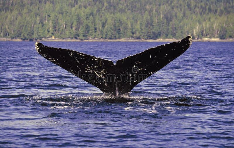Arrière de baleine de bosse photographie stock