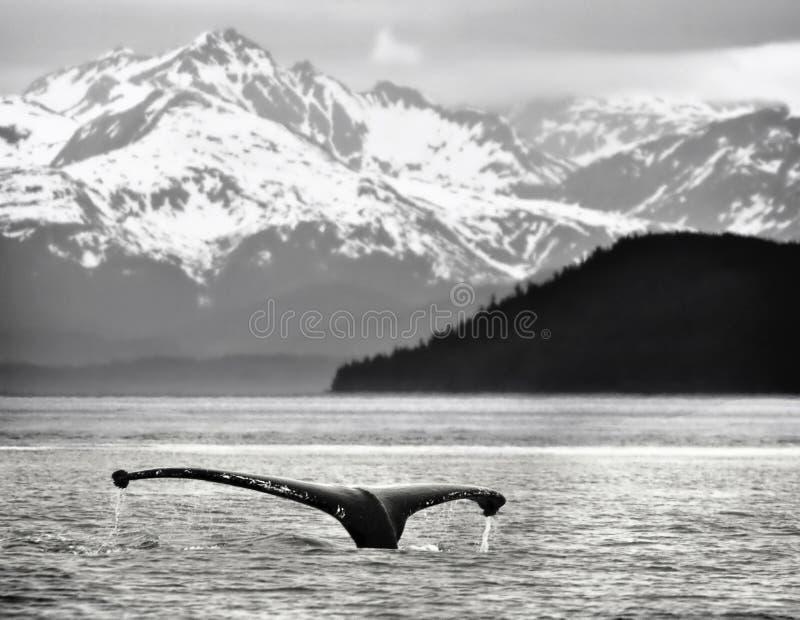 Arrière de baleine de bosse, Alaska photos libres de droits