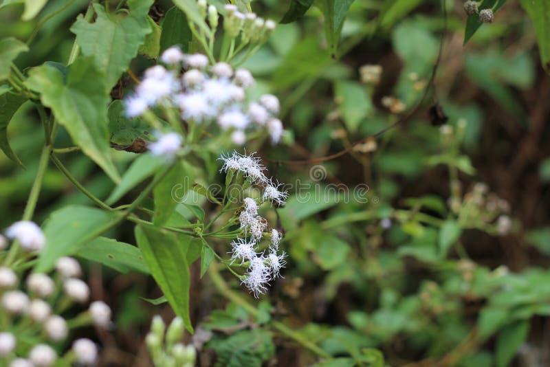 Arrière-pays sri-lankais de fleurs sauvages image stock