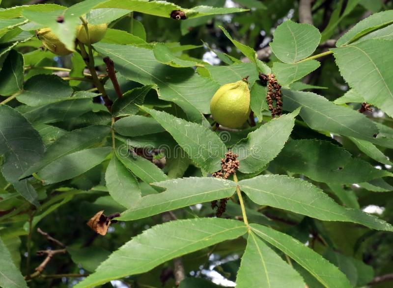 Arrière-plan de l'arbre des noix de beurre image stock