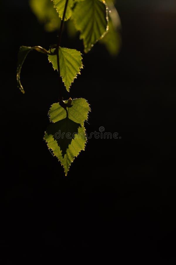 Arrière-plan noir en forme de coeur de la feuille verte photo stock