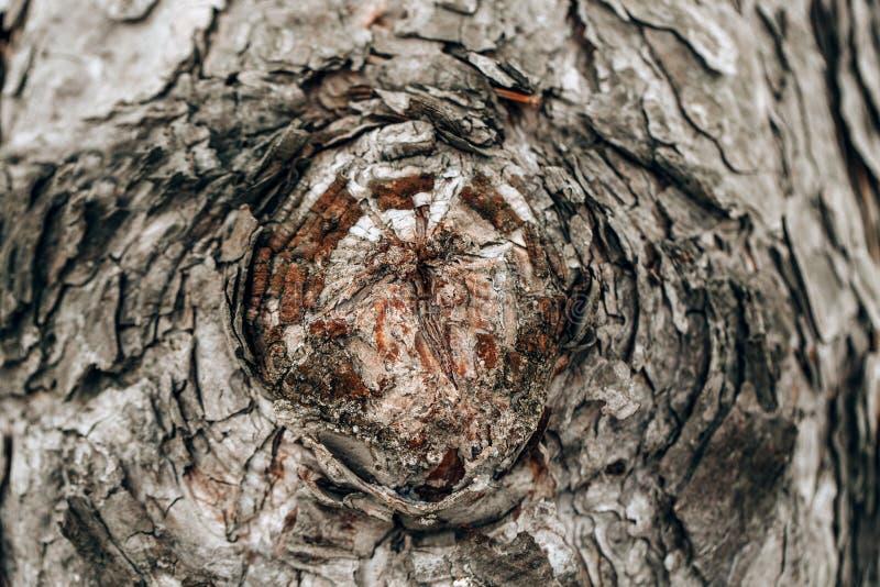Arrière-plan textuel du tronc d'un vieux chêne photographie stock