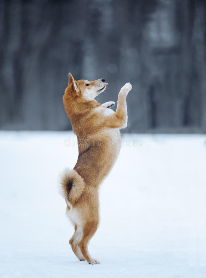 Arrières d'inu de Shiba sur une neige photos libres de droits