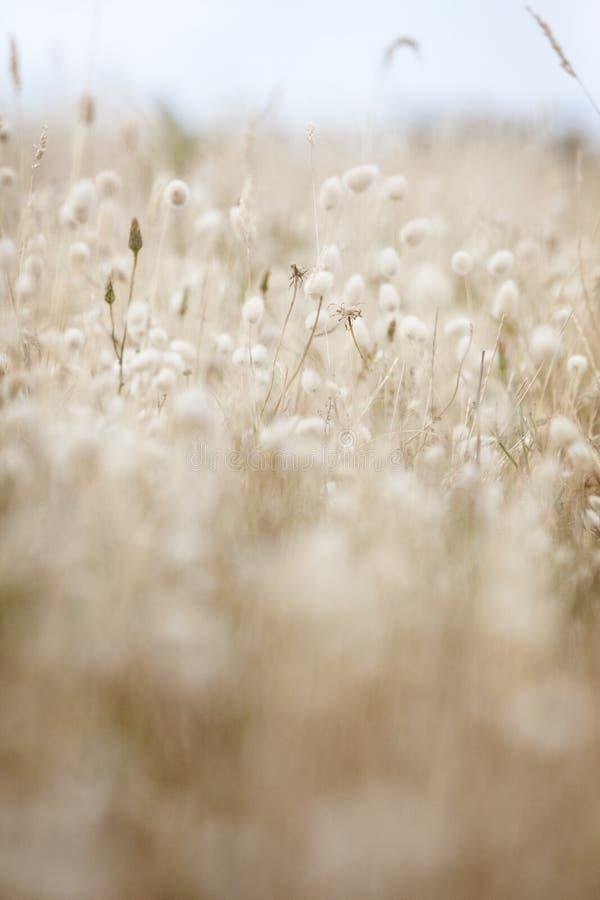 Arrières et herbe de coton image libre de droits