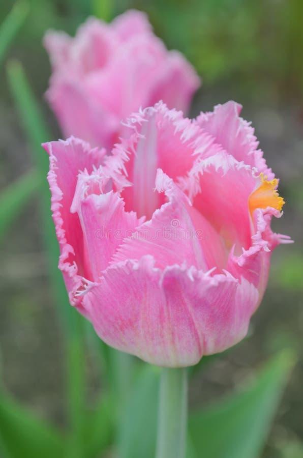 Arricciamenti guarniti rosa di immaginazione del tulipano immagini stock libere da diritti