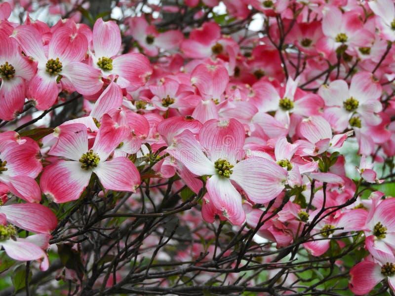 Arrivo iniziale di fioritura della molla del corniolo rosa in NYS fotografie stock libere da diritti