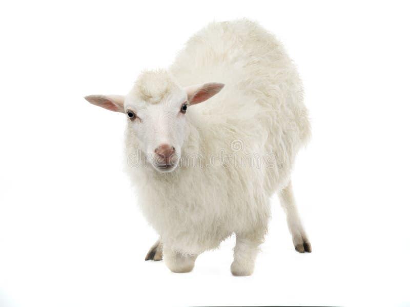 Arrodillamiento de las ovejas imagenes de archivo