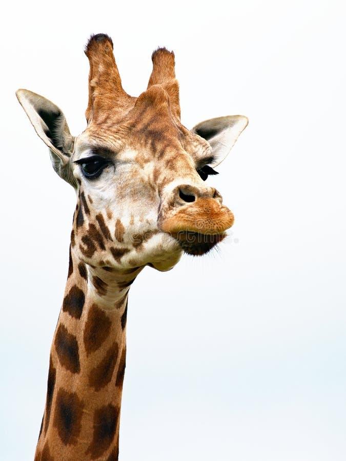 Arrogant giraff arkivfoton