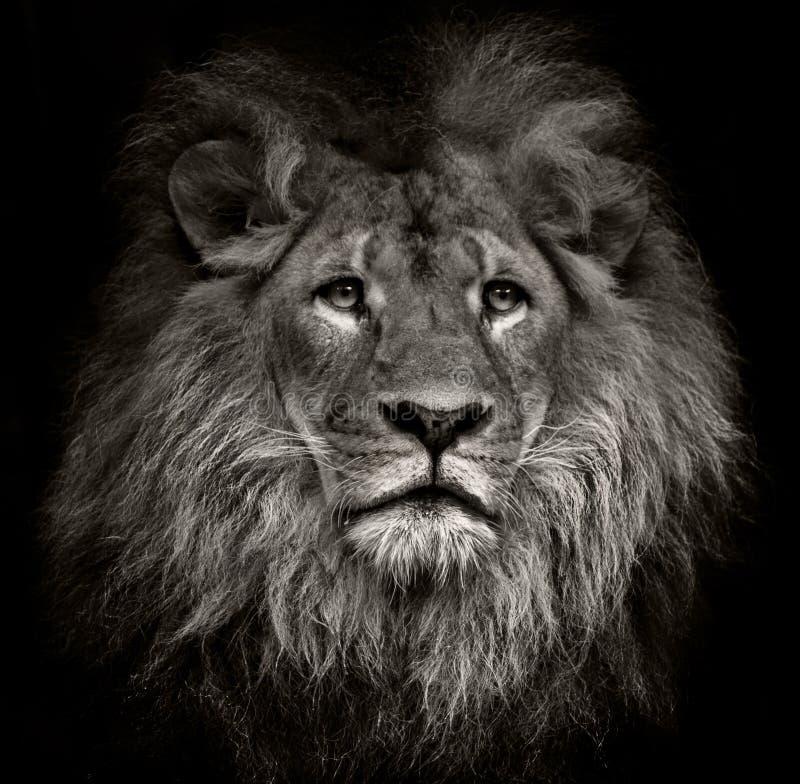 Arrogant lejon royaltyfri foto