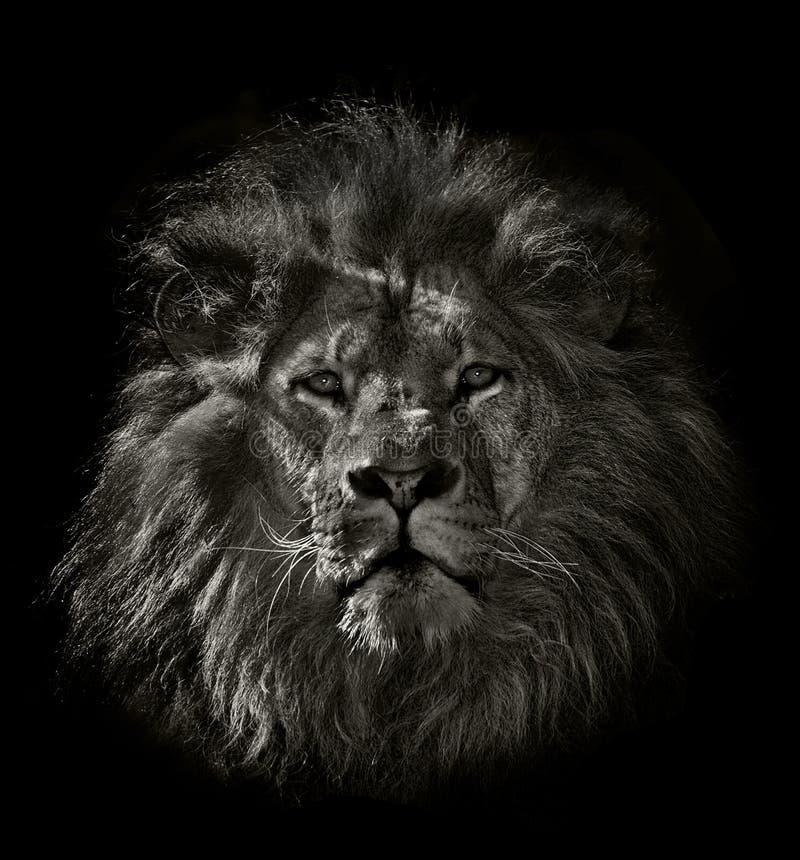 Arrogant lion. Agrrogant lion in black and white stock photography