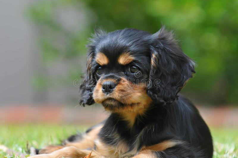 Arrogant puppy royalty-vrije stock foto's