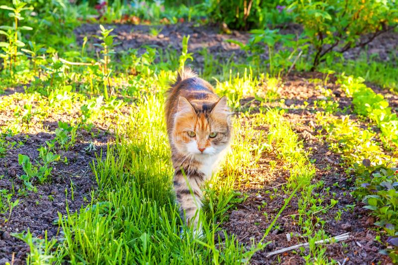 Arrogant short-haired domestic beautiful tabby cat eating fresh green grass oats. Natural hairball treatment. Pet care health and animals concept royalty free stock photos