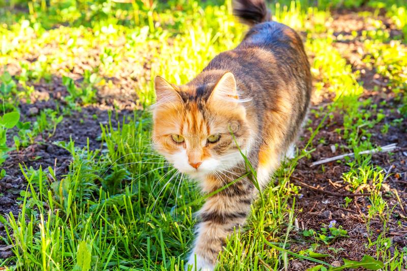 Arrogant short-haired domestic beautiful tabby cat eating fresh green grass oats. Natural hairball treatment. Pet care health and animals concept stock photo