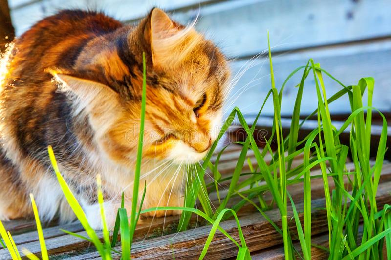 Arrogant short-haired domestic beautiful tabby cat eating fresh green grass oats. Natural hairball treatment. Pet care health and animals concept royalty free stock photo