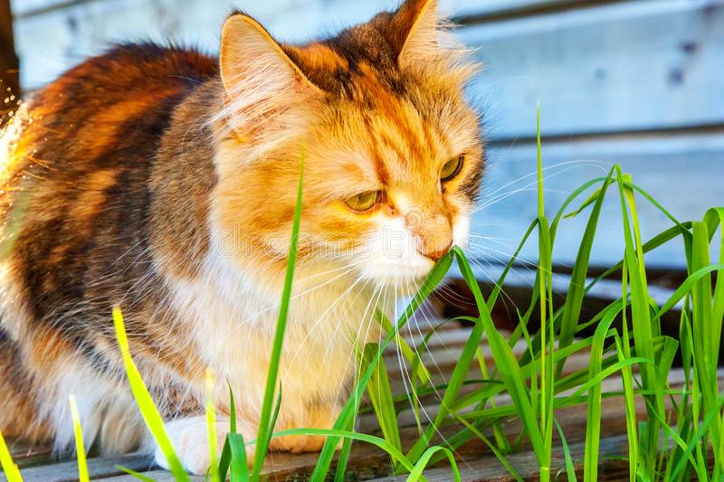 Arrogant short-haired domestic beautiful tabby cat eating fresh green grass oats. Natural hairball treatment. Pet care health and animals concept stock image