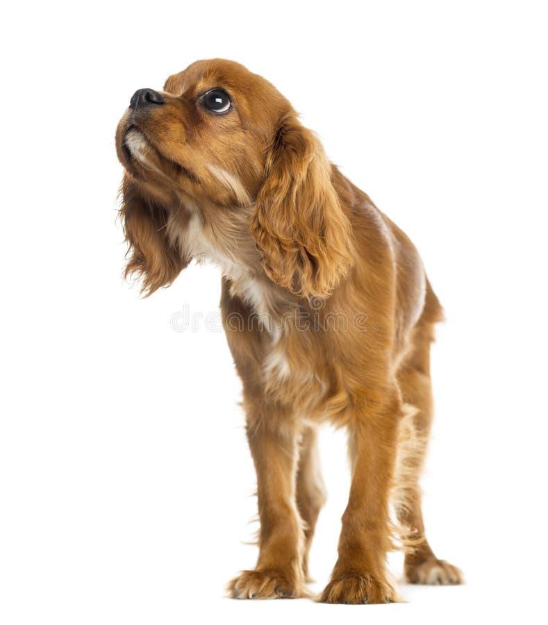 Arrogante het puppy van Koningscharles spaniel status, die 5 maanden oud omhoog eruit zien stock foto