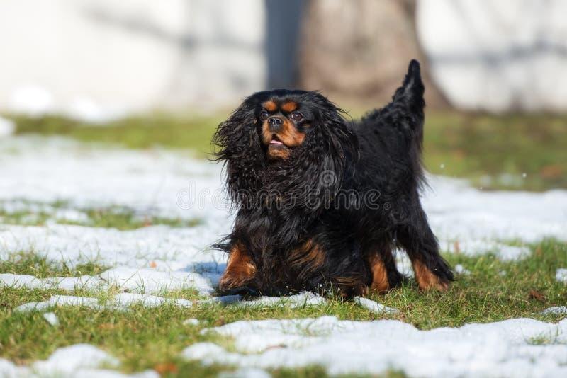 Arrogante het spanielhond die van koningscharles in openlucht lopen stock foto