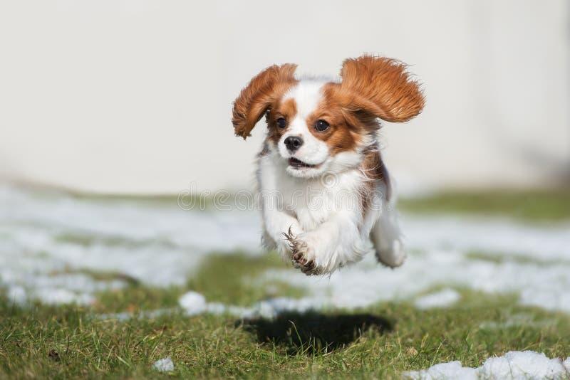 Arrogante het spanielhond die van koningscharles in openlucht lopen stock afbeelding