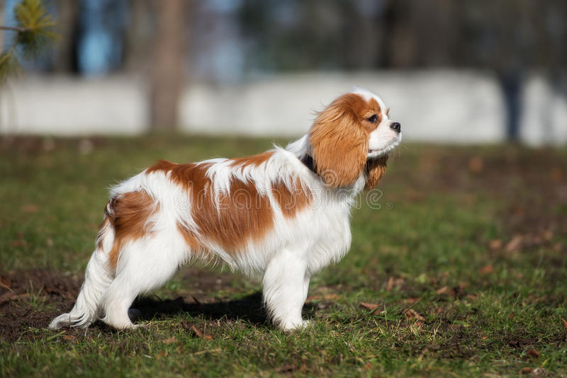 Arrogante het spanielhond van koningscharles in openlucht royalty-vrije stock foto's