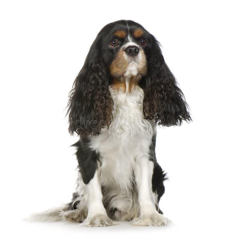 Arrogante Koning Charles Spaniel (2 jaar) stock foto